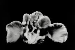 Oyster-Mushroom-23
