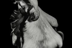 oyster.mushroom.40_500
