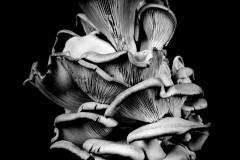 Oyster-Mushroom-17