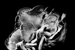 Oyster-Mushroom-21