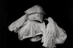 Oyster-Mushroom-24
