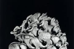 Oyster-Mushroom-27
