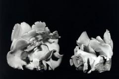 Oyster-Mushroom-30