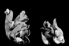 Oyster-Mushroom-31