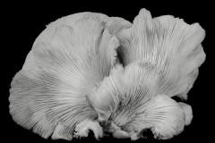 Oyster-Mushroom-33