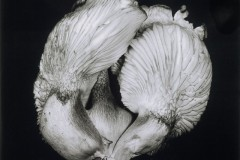 Oyster-Mushroom-44