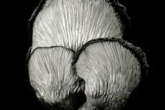 Oyster-Mushroom-49