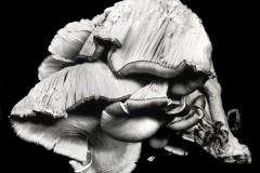 Oyster-Mushroom-5
