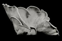 Oyster-Mushroom-7