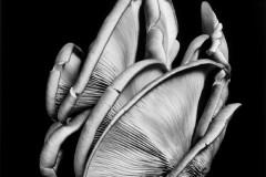 Oyster-Mushroom-9