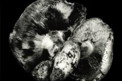 Pine-Mushroom-2
