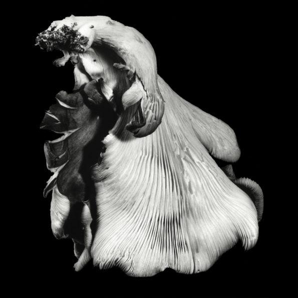 Oyster Mushroom No.40 2016