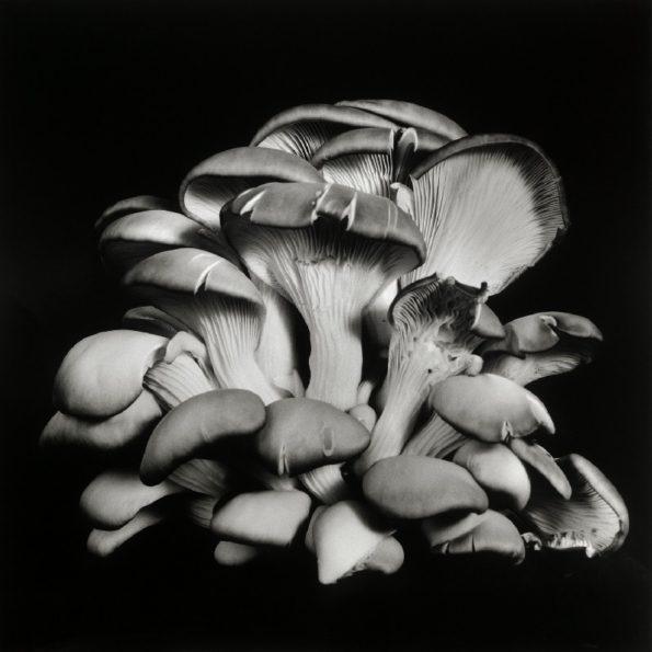 Oyster Mushroom No.14 2013