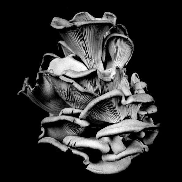 Oyster Mushroom No.17 2014