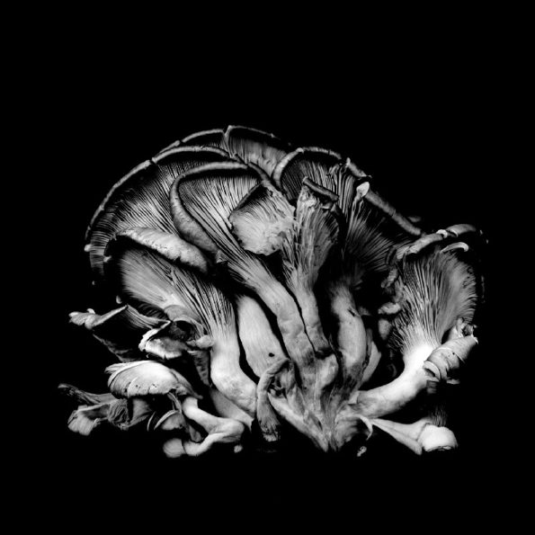 Oyster Mushroom No.19 2014