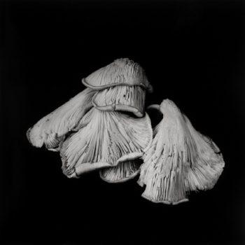 Oyster Mushroom 24