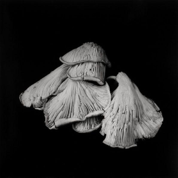 Oyster Mushroom No.24 2014