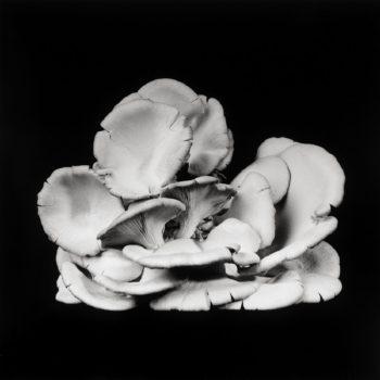 Oyster Mushroom 25