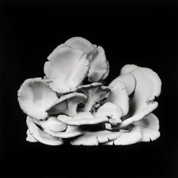 Oyster Mushroom No.25 2014