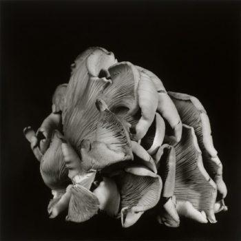 Oyster Mushroom 3