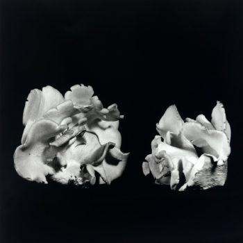 Oyster Mushroom 30