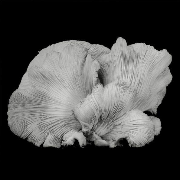 Oyster Mushroom No.33 2016
