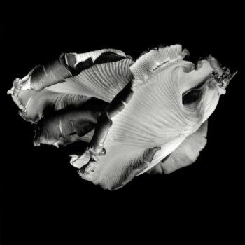 Oyster Mushroom 36