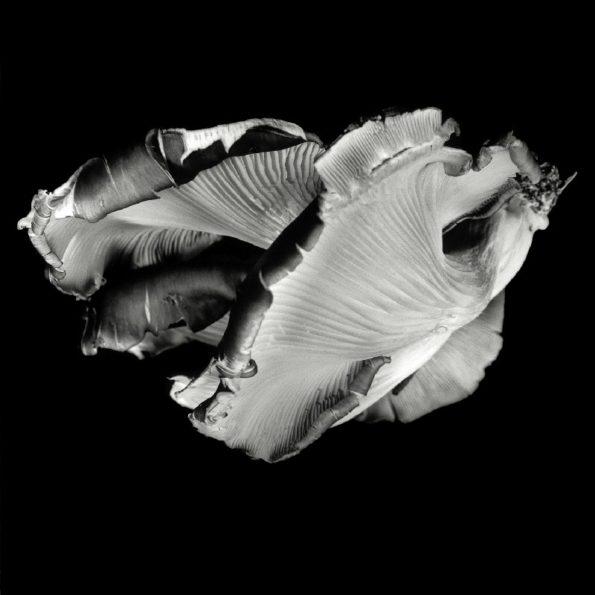 Oyster Mushroom No.36 2016