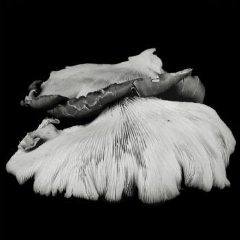 Oyster Mushroom 38