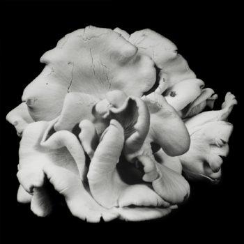 Oyster Mushroom 39