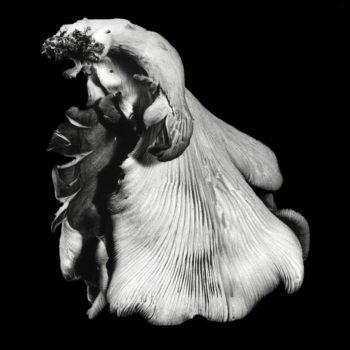 Oyster Mushroom 40