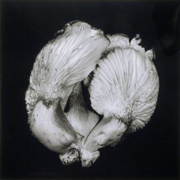 Oyster Mushroom 44