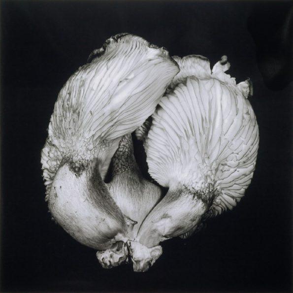 Oyster Mushroom No.44 2017