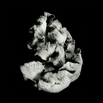 Oyster Mushroom 45
