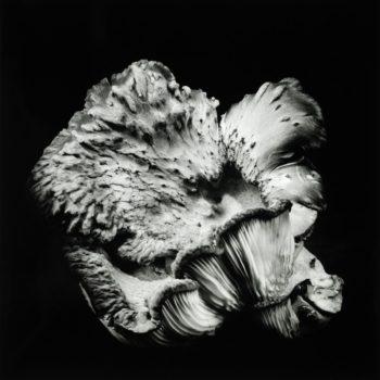 Oyster Mushroom 47