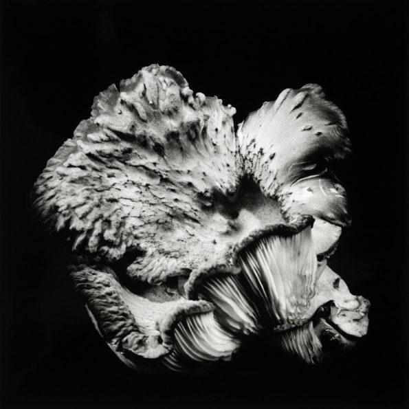 Oyster Mushroom No.47 2019