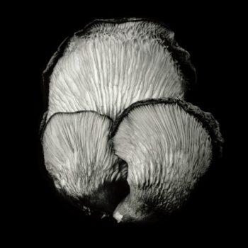 Oyster Mushroom 49