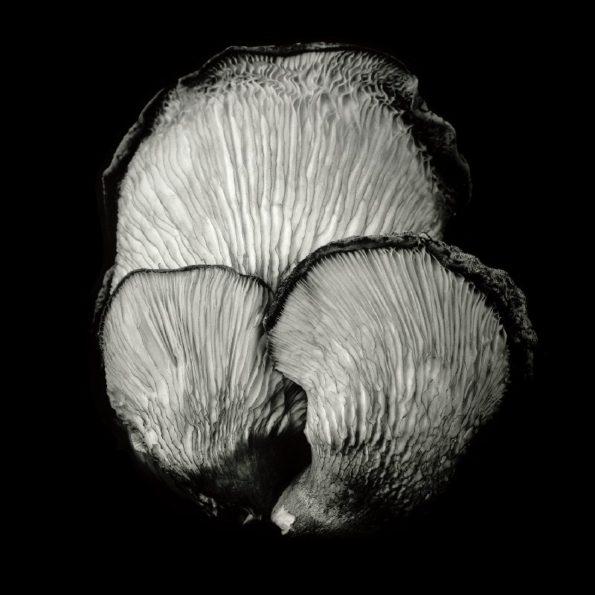 Oyster Mushroom No.49 2019