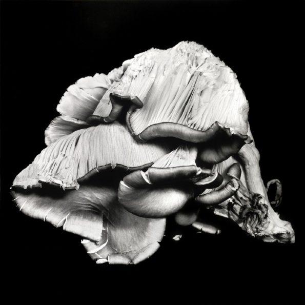 Oyster Mushroom No.05 2012