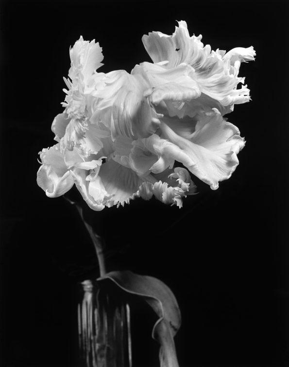 Parrot Tulip No 2 2011